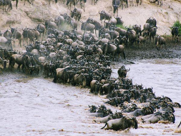 Kudde Gnoes steken het water over in Kenia
