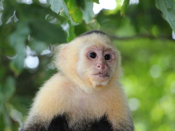 Kapucijnaap in de jungle van Costa Rica