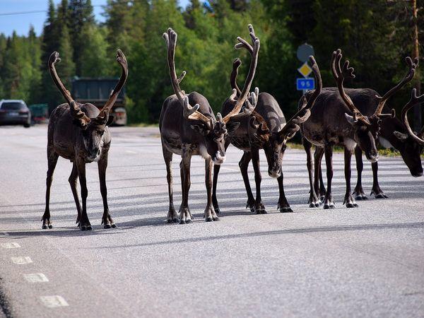 Rendieren op de weg in Lapland