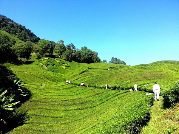 Een thee plantage op de Cameron Highlands in Maleisië
